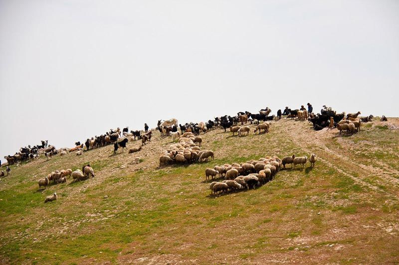 Sheep in Palestine